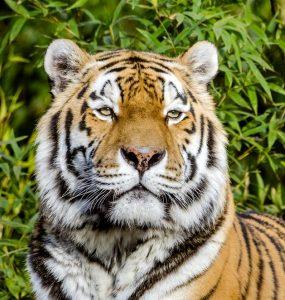 A tiger