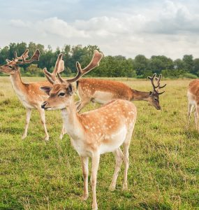 Fallow deer enclosure in country park - The Coach Space